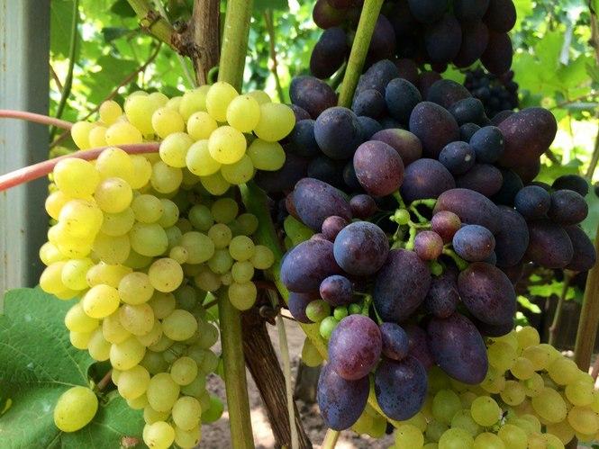 уже писал сорта винограда в пензенской области фото любителей мягких