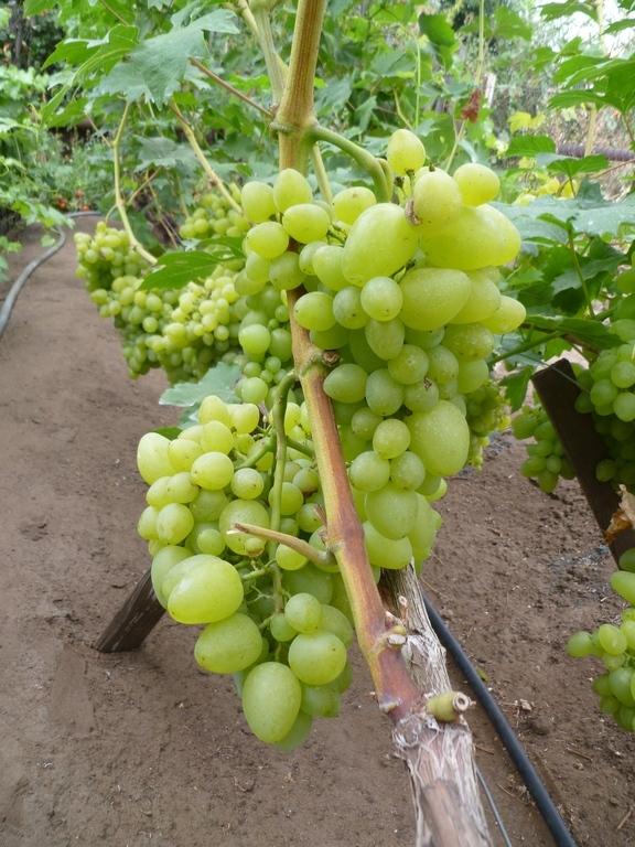 Как сажать виноград в сентябре 24